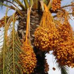 date fruit date-palm tree